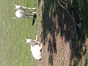 Male Saanen Goats 5 Months old