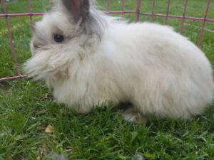 Lion head Rabbit and lop Rabbit for sale,