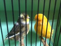 Canaries for sale good singers