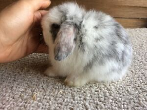 Pedigreed Netherland Dwarf and Holland Lops Forsale