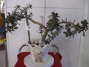 LARGE LUSH BONSAI-SHAPED JADE-TREE HOUSE PLANT