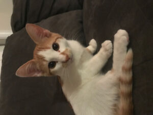 Adorable neutered 5 month old kitten needs new home.