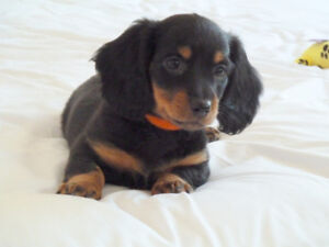 Pretty and adorable Dachshund Puppies