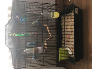 Budgies in need of home