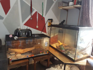 Bearded dragons REDUCED