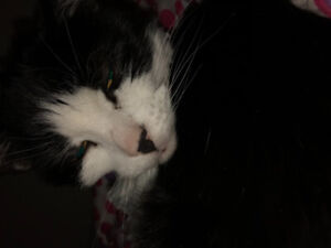 15 year old tuxedo female fixed cat for rehoming