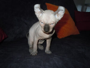 Sphynx chaton blue mink (2) et 1 Elf chaton blue seal.Males
