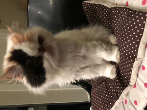 Cute female Persian cat looking for a warm home