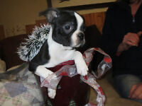Boston Terrier Babies available