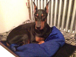 Couple looking for a beautiful Purebred Doberman or Great Dane