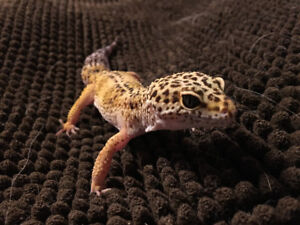 Reduced LEOPARD GECKO w/ FULL SET UP - great gift