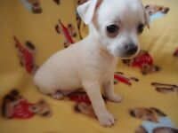 CHIOT CHIHUAHUA FEMELLE BLANCHE