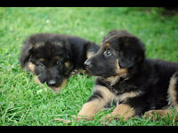 German Shepherd Puppies available.  1 male and 1 female left.