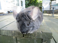 Female Chinchilla – Large Cage and Accessories