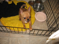 Registered Male Chihuahua puppy