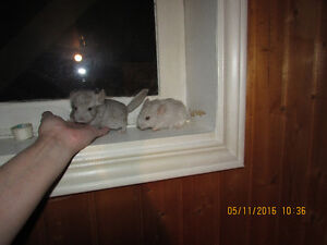 NL Chinchillas look for a customer