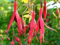 "Fuchsia Plants ""Magellanica"" Large bush variety - Pokesdown BH5 2AB"