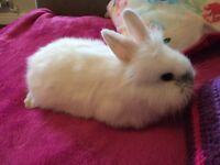Male lop/ lionhead baby rabbit