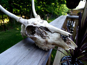 ANTELOPE SKULL with TEETH man cave cottage SCIENCE Art Deco Cambridge Kitchener Area image 2