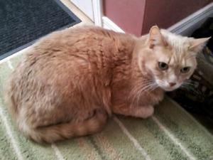 Lost Light Beige Tabby cat