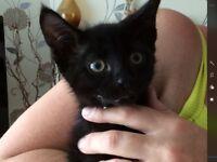 Kitten for sale half Siamese please read description below