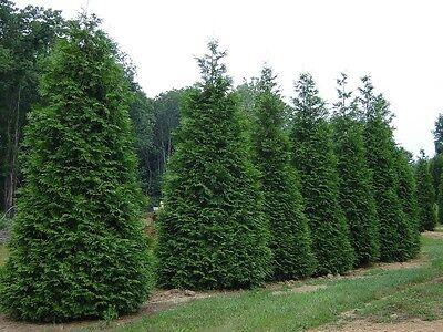 1 Arborvitae Green Giant Thuja Plicata 4 ...