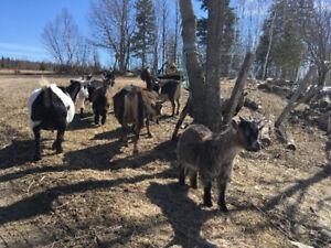 Breeding Goat Herd for Sale