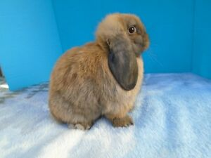 Purebred Holland Lop Rabbit-Lapin Bélier hollandais Pure Race