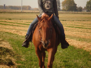 QH/Arabian mare for sale *PRICE REDUCED!!* Great deal!! Strathcona County Edmonton Area image 2