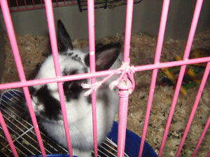 PUREBRED NETHERLAND DWARF RABBIT WITH CAGE AND STAND