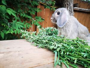 10 week old bunnies for sale