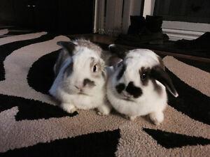 Two Dwarf Rabbits