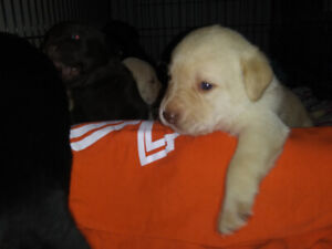Pure LAB puppies for sale - NOT ready until Nov 25!