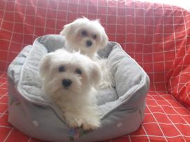 Maltese female gorgeous puppies ready now
