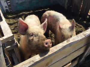 10 months old gilts