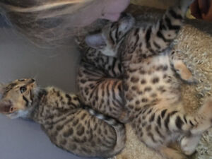 Rosetted brown bengals kittens