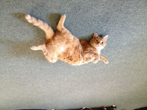 6 year old Orange tabby, sadly possibly needs rehome