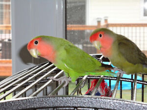 Pair of Love Birds ..Tame ....Cages  included