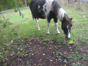 Miniature mare for sale Double registered