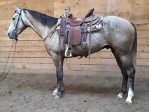 3 year old gray AQHA gelding for sale
