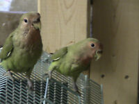 LOVEBIRD BABIES 10 READY TO GO together