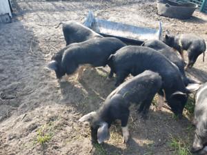 Saddle back cross piglets for sale