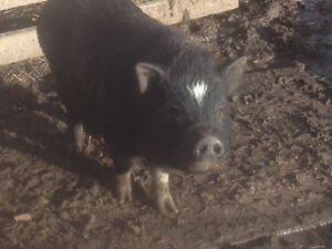 Male potbellied pig Downtown-West End Greater Vancouver Area image 1