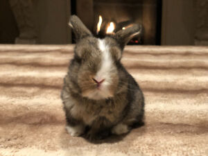 Quality Purebred Registered Holland Lop Bunnies