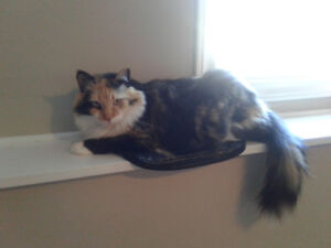 Two Calico Sister Cats Looking for a Good Home.