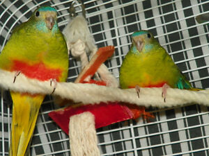 Brilliant Coloured Grass Parakeets $120 for the pair with cage