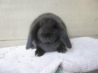 Lapin compagnie/chair