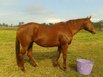 Thoroughbred Mare Gloucester Gloucester Area Preview