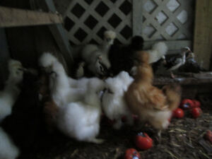 poules soyeuses blanche