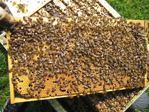 Basic Honey Bee Beekeeping Course